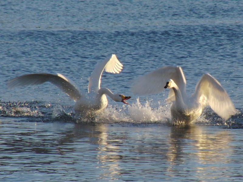 20130120白鳥
